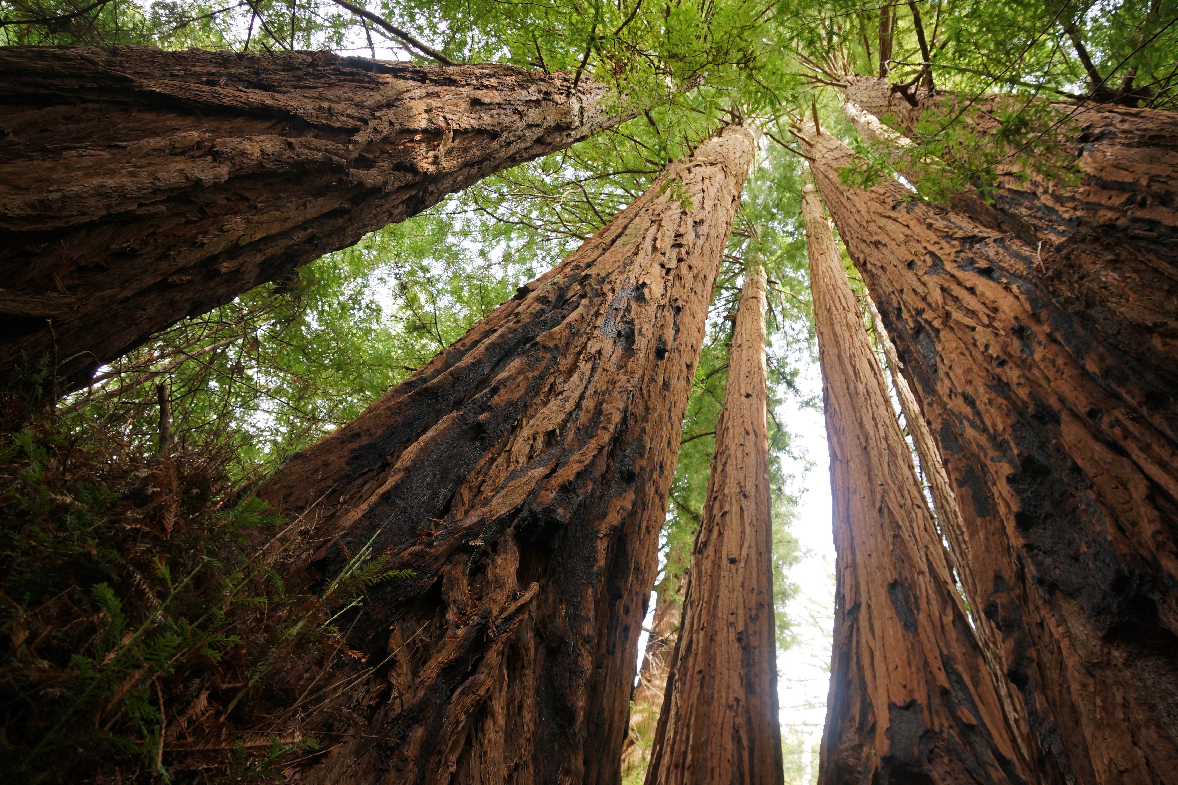 image of a redwood